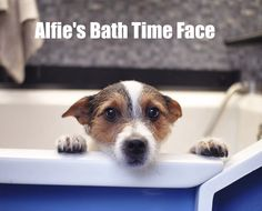 So DogGone Funny!: [16144] - Alfie's bath time face. If he could talk, what do you think Alfie would say?