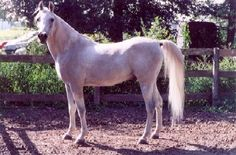 Ibntep of Rose 1985 gray (Inshalla Imhotep x Rose of Masada) Al Khamsa, Asil, Straight Egyptian, Blue List eligible, Heirloom/El Deree -Pure-in-the-strain Dahman-Shahwan tail female to El Dahma (APS) - Saklawi I sire line through *Ansata Ibn Halima