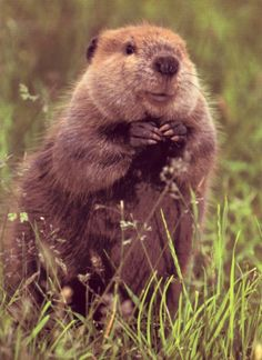 Beavers are one of the cutest animals !!!