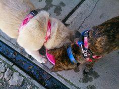 Kai ken and Akita #dog