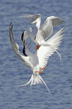 Hal Beral, Territorial Dispute—Terns Fighting in Midair, Bolsa Chica Wetlands, Orange County