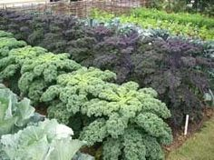 How to grow kale as a winter crop