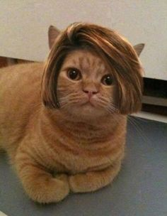 Bob Cat. Now you're laughing :) Hate Cats, I Love Cats, Crazy Cats, Funny Gifs, Videos Funny, Viral Videos, Funny Images, Wearing Wigs, Laughing Cat