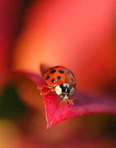 Lady Bug ~ Photography by Laila_K - all red Beautiful Creatures, Animals Beautiful, Cute Animals, Beautiful Bugs, Bugs And Insects, All Gods Creatures, Belle Photo, Animal Photography, Pet Birds