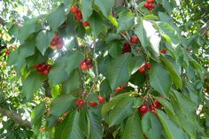CHERRY PICKING AT KLONDYKE FARM