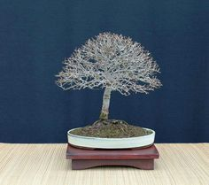 Chinese elm broom style bonsai