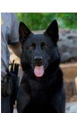 K-9 Officer Kye killed in the line of duty.