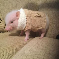 Pumpernickel the mini pig! I want to eat his little piglet ears!!!