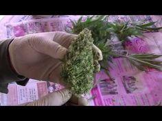 アウトドア 医療大麻の育て方 その6 ハーヴェスト編 @カリフォルニア メンダシノ - https://www.youtube.com/watch?v=Vch09XKlSA4