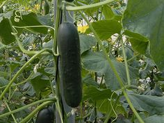 Corinto A slicer variety for autumn and spring production that sets well under cool conditions. This variety is very productive and produces cylindrical, dark green, shiny and rather smooth fruits of in. Aquaponics Fish, Aquaponics System, Fish Tank For Sale, Cucumber Seeds, Love Garden, Garden Seeds, Fruit, Green, Fish Tanks