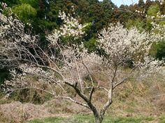 Plum blossoms #Ume #Flowers