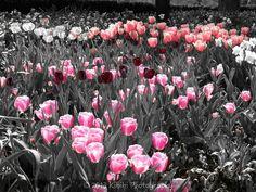 Tulip Dreams, pink red peach white gray Missouri Botanical Garden, Red Peach, Crown Chakra, Shades Of Grey, Tulips, Dreams, Black And White, Gray, Pink