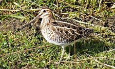 Country diary: Chapel Fell, Weardale: The extraordinary courtship song of the snipe