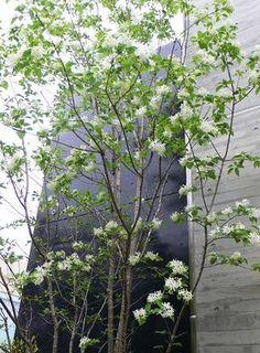 """先日アオダモの花でお伝えした浄水通りのビル西側の坂道に沿って入れた、ナンジャモンジャの木が花を咲かせ始めていましたヒトツバダコ 通称""""ナンジャモンジャの木""""は初めて見た人があまりに美しいその花木を「何じゃ!どこのもんじゃ!」とうなったのか正"""