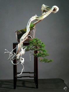 Juniper bonsai tree in cascade style