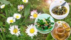 Recepty ze sedmikrásek Korn, Detox, Herbs, Plants, Gardening, Fitness, Lawn And Garden, Herb, Plant