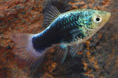 Summary: The most ideal tropical fish temperature is and 79 F. Some kind of research must be done on the fish, to know there ideal temperature which suits them, warmer or colder. Saltwater Aquarium Fish, Tropical Fish Aquarium, Freshwater Aquarium Fish, Fish Aquariums, Fishing World, Fishing Life, Platy Fish, Pets 3, Fish Ponds