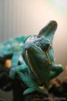 """""""Blue Or"""", fotografía de un Camaleón del Yemen en el VigoZoo."""