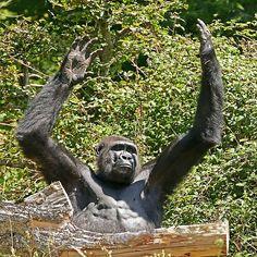 Gorilla Love 10 (c)(t) by Olao-Olavia par Okaio Créations fz 1000