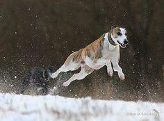 ~ Whippet Jump! ~