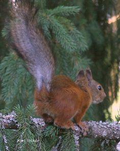Squirrel.Orava