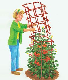 Ineffable Secrets to Growing Tomatoes in Containers Ideas. Remarkable Secrets to Growing Tomatoes in Containers Ideas. Marigolds In Garden, Garden Plants, House Plants, Tomato Garden, Tomato Plants, Gardening Supplies, Gardening Tips, Container Gardening, Growing Tomatoes In Containers