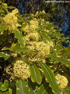 New Zealand Native Plants Photography - recently added NZ native plants at NZ Plant Pics stock photography. Browse most recent native plant photography added to the NZ Plant Pics site. Trees And Shrubs, Flowering Trees, Trees To Plant, Rum, Old Trees, All Plants, Garden Inspiration, Garden Ideas, Native Plants