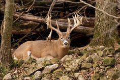 Find big game hunting tips from the experts at Field & Stream magazine. Big Game Hunting, Hunting Tips, Hunting Season, Deer Hunting, Archery Hunting, Deer Information, Deer Bedding, Deer Signs, Deer Pictures