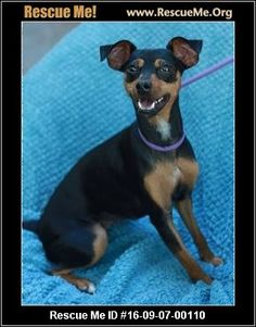 ― Tennessee Dog Rescue ― ADOPTIONS ―RescueMe.Org  Gracie, a Manchester Terrier mix.