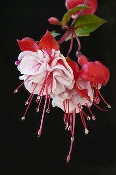 Unusual Flowers, Beautiful Flowers Garden, Edible Flowers, Amazing Flowers, Beautiful Roses, Pretty Flowers, Beautiful Gardens, Columbine Flower, Belle Plante