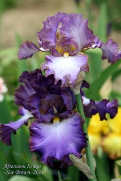 Photo of Tall Bearded Iris (Iris 'Afternoon in Rio') uploaded by Calif_Sue