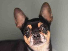 SAFE 2/24/15 by Hudson Valley Animal Rescue and Sanctuary --- Manhattan Center   ROCKY - A1028321   MALE, BLACK / TAN, CHIHUAHUA SH MIX, 6 yrs OWNER SUR - EVALUATE, NO HOLD Reason OWNER SICK  Intake condition UNSPECIFIE Intake Date 02/19/2015 https://www.facebook.com/photo.php?fbid=965157466830466