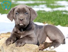 107 Best Cane Corso Puppies images in 2019 | Cane corso puppies