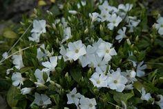 Vinca minor `Gertrude Jekyll`     (Maagdenpalm) voor t/m het najaar bloeien. bodembedekker, winterhard