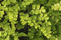 Maidenhair ferns (Adiantum spp.) grow from 6 inches to 4 feet tall with delicate fan-shaped leaflets on frilly fronds supported by springy stems. They prefer damp, rich, well-drained, neutral to slightly acidic soil and thrive in a shaded area or where they receive sun only in the morning and...