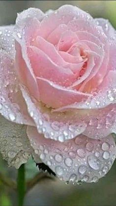 Beautiful Flowers Wallpapers, Beautiful Rose Flowers, Exotic Flowers, Amazing Flowers, Love Rose, My Flower, Pretty Flowers, Pink Flowers, Flower Petals
