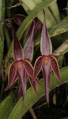 Orquídea...  Pleurothallis allenii