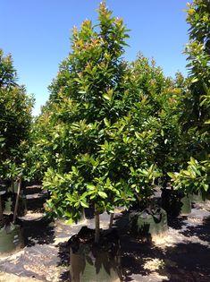 Evergreen Trees Landscaping, Screen Plants, Wholesale Nursery, Street Trees, Coastal Gardens, Flower Branch, Shade Trees, Types Of Soil, Back Gardens