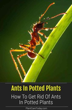 Do you have ants in your potted plants? Ants love sweets and farm plants pests like aphids and scale insects that produce a sugar solution called - honeydew. They protect these pests to collect the honeydew. Learn how to get rid of the ants. Ants In Garden, Garden Pests, Sugar Ants, Drying Mint Leaves, Scale Insects, Plant Pests, Get Rid Of Ants, Soil Improvement, Gardening Supplies