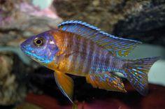 Aulonocara Jacobfreibergi / Cichlide | Aquarium vissen database | gdaquarium