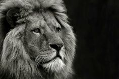 The majestic Lion.