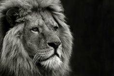 The majestic Lion.
