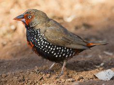Aboriginal Culture, Australian Birds, Colorful Birds, Kingfisher, Western Australia, Beautiful Pictures, Im Not Perfect, Creatures, Finches