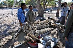 The Kalahari Bushmen were amazed to see a cheetah up so close.