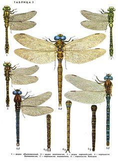 1. Дедка обыкновенный (Gomphus vulgatissimus); 2. Дедка желтоногий (Gomphus flavipes); 3. Дедка европейский Onychogomphus forcipatus 4. Коромысло беловолосое (Brachytron pretense); 5. Коромысло камышовое (Aeshna juncea); 6. Коромысло большое (Aeshna grandis)