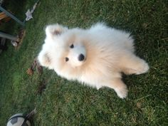 Samoyed. sooo fricken cute