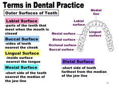 Dental Assistant Study, Dental Hygiene Student, Dental Hygienist, Dental Life, Dental Teeth, Dental Charting, Dental Terminology, Dental Anatomy, Tooth Chart