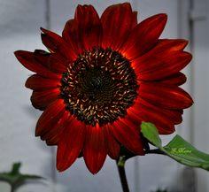In the sunflower garden