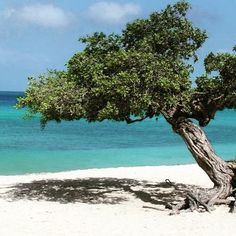 Remember my Trip to #Aruba. This is one of the most important tree of the island. #throwback