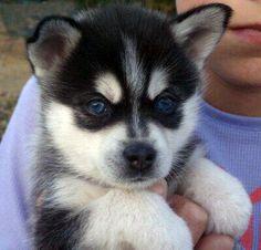 miniature husky Alaskan Klee Kais and Miniature Huskies. Pomsky Puppies, Puppies And Kitties, Cute Puppies, Cute Dogs, Puppys, Doggies, Pomeranian Mix, Cute Baby Animals, Funny Animals